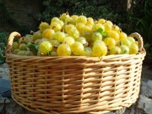 gooseberry-basket